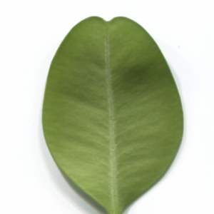 Photographie n°48318 du taxon Buxus sempervirens L.