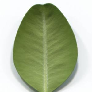 Photographie n°48319 du taxon Buxus sempervirens L. [1753]