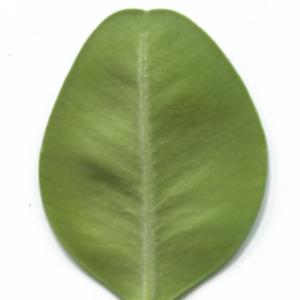 Photographie n°48320 du taxon Buxus sempervirens L.