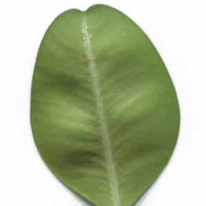 Photographie n°48321 du taxon Buxus sempervirens L. [1753]