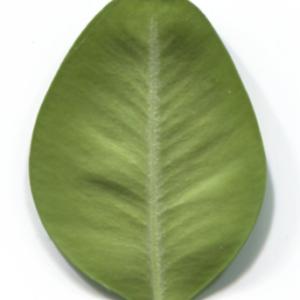 Photographie n°48322 du taxon Buxus sempervirens L. [1753]