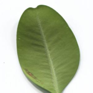 Photographie n°48323 du taxon Buxus sempervirens L. [1753]