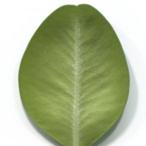Photographie n°48324 du taxon Buxus sempervirens L. [1753]