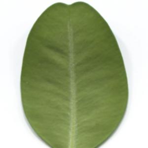 Photographie n°48325 du taxon Buxus sempervirens L. [1753]