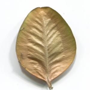 Photographie n°48327 du taxon Buxus sempervirens L. [1753]