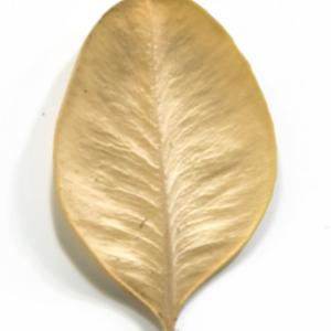 Photographie n°48328 du taxon Buxus sempervirens L. [1753]