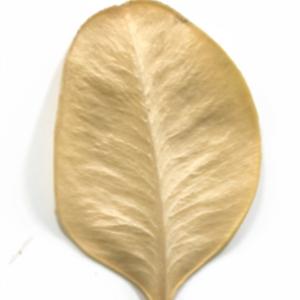 Photographie n°48329 du taxon Buxus sempervirens L. [1753]