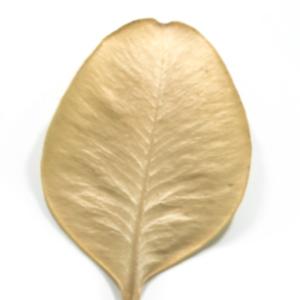 Photographie n°48330 du taxon Buxus sempervirens L.
