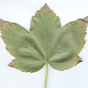 Photographie n°48348 du taxon Acer pseudoplatanus L.