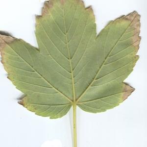 Photographie n°48349 du taxon Acer pseudoplatanus L.