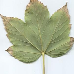 Photographie n°48350 du taxon Acer pseudoplatanus L.