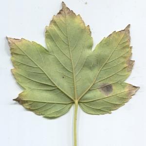 Photographie n°48351 du taxon Acer pseudoplatanus L.