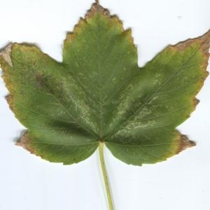Photographie n°48352 du taxon Acer pseudoplatanus L.