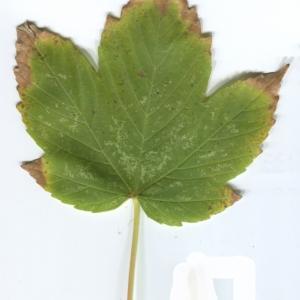Photographie n°48353 du taxon Acer pseudoplatanus L.
