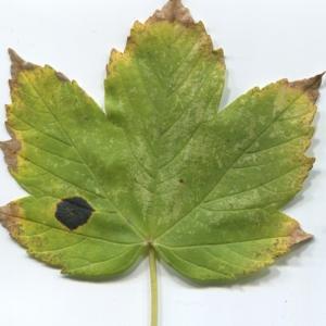 Photographie n°48354 du taxon Acer pseudoplatanus L.