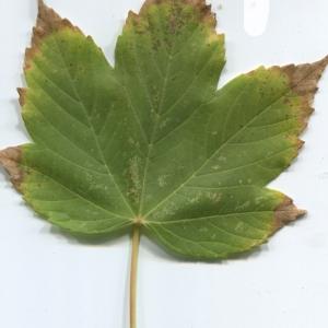 Photographie n°48355 du taxon Acer pseudoplatanus L.