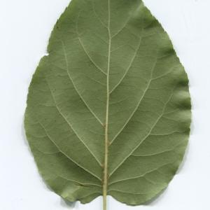 Photographie n°48356 du taxon Alnus cordata (Loisel.) Duby [1828]