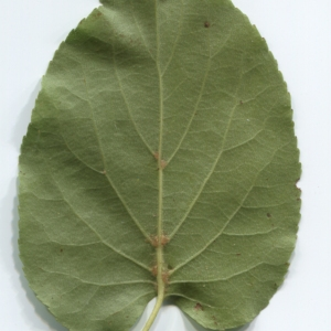 Photographie n°48358 du taxon Alnus cordata (Loisel.) Duby [1828]
