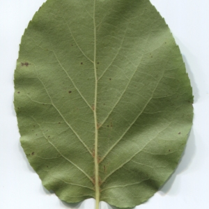 Photographie n°48359 du taxon Alnus cordata (Loisel.) Duby [1828]