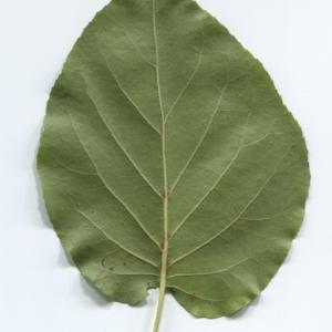 Photographie n°48361 du taxon Alnus cordata (Loisel.) Duby [1828]