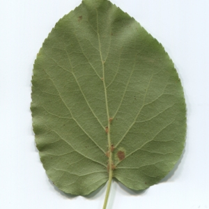 Photographie n°48362 du taxon Alnus cordata (Loisel.) Duby [1828]