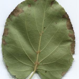 Photographie n°48363 du taxon Alnus cordata (Loisel.) Duby [1828]