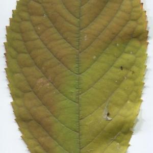Photographie n°48511 du taxon Prunus avium (L.) L. [1755]