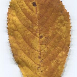 Photographie n°48512 du taxon Prunus avium (L.) L. [1755]