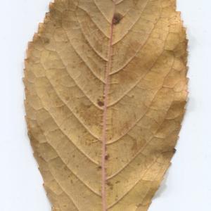 Photographie n°48513 du taxon Prunus avium (L.) L. [1755]