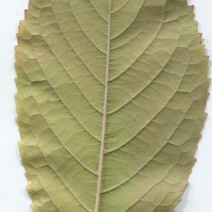 Photographie n°48514 du taxon Prunus avium (L.) L. [1755]