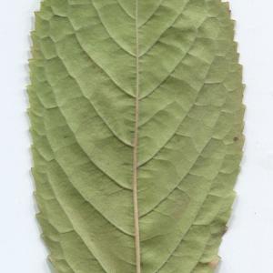 Photographie n°48515 du taxon Prunus avium (L.) L. [1755]