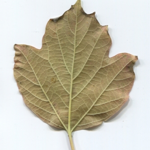 Photographie n°48516 du taxon Viburnum opulus L. [1753]