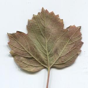 Photographie n°48517 du taxon Viburnum opulus L. [1753]