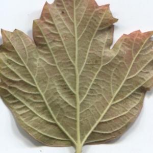 Photographie n°48518 du taxon Viburnum opulus L. [1753]