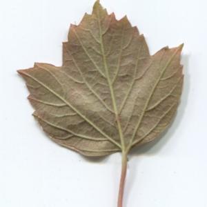 Photographie n°48519 du taxon Viburnum opulus L. [1753]