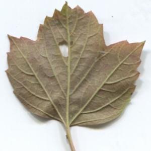 Photographie n°48520 du taxon Viburnum opulus L. [1753]