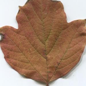 Photographie n°48521 du taxon Viburnum opulus L. [1753]