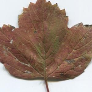 Photographie n°48522 du taxon Viburnum opulus L. [1753]