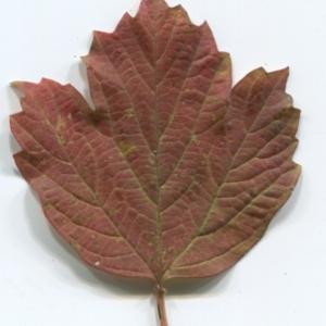 Photographie n°48523 du taxon Viburnum opulus L. [1753]