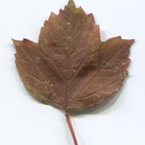 Photographie n°48524 du taxon Viburnum opulus L. [1753]