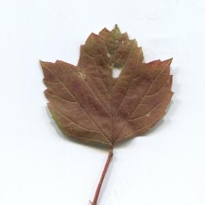 Photographie n°48525 du taxon Viburnum opulus L. [1753]