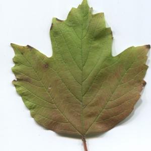 Photographie n°48532 du taxon Viburnum opulus L. [1753]