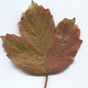 Photographie n°48533 du taxon Viburnum opulus L. [1753]