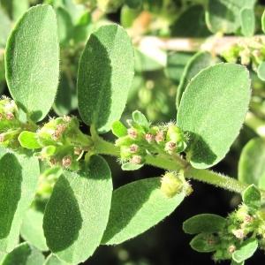 Photographie n°48563 du taxon Euphorbia prostrata Aiton