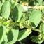 Marie  Portas - Euphorbia prostrata Aiton