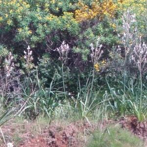 Photographie n°48606 du taxon Asphodelus ramosus L.