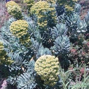 Photographie n°48653 du taxon Euphorbia wulfenii Hoppe ex W.D.J.Koch [1838]