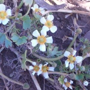 Photographie n°48660 du taxon Ranunculus L. [1753]