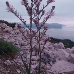 Photographie n°48683 du taxon Asphodelus ramosus L.