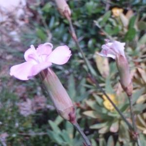 - Dianthus arrosti C.Presl [1822]